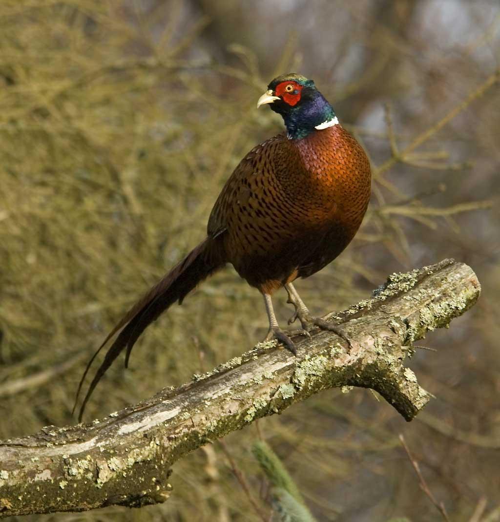 Fuglevildt